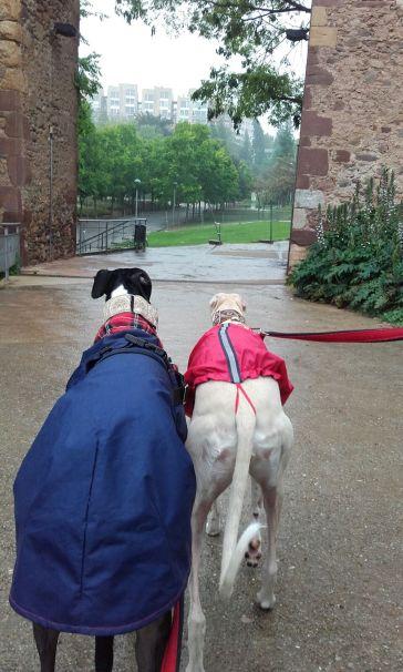 galgos por la lluvia